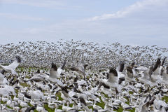 A Large Flock Of Snow Geese Stock Photo
