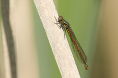 A Large Red Damselfly Pyrrhosoma Nymphula Perched On A Reed. Stock Images