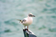 A Laughing Gull Perched On A Pier Post Along The Coast. Stock Image