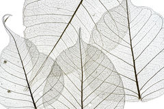 Free A Leafs Texture Stock Images - 71122094