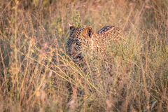 Free A Leopard Hiding In The Grass. Stock Images - 98116544