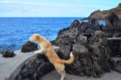 Free A Little Brown Dog Looking Over A Wall To The Ocean. Madeira, Portugal Royalty Free Stock Photo - 186570815