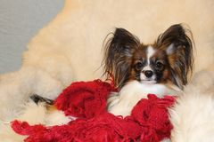 Free A Little Hairy Dog Rests On A White Sheepskin On An Armchair. Royalty Free Stock Photo - 108309485