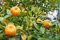 Free A Little Orange Mandarine Tree With Two Fruits In The Garden Wit Royalty Free Stock Photos - 103847738