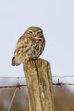 A Little Owl Stock Image