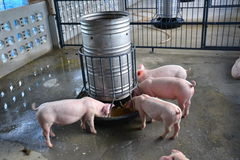 Free A Little Pig Eat Stock Photography - 25387972
