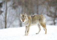 A Lone Coyote &x28;Canis Latrans&x29; Walking And Hunting The Winter Snow In Canada Royalty Free Stock Image