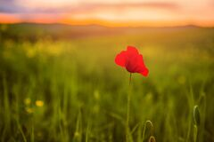 A Lone Red Poppy In A Green Grass Field Facing The Sunset, Shallow Depth Of Field Royalty Free Stock Photos