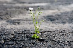 Free A Lonely Flower Makes Its Way Through The City Asphalt, Craving For The Sun And The Power Of Plant Life Stock Photos - 155443743
