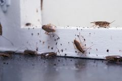 Free A Lot Of Cockroaches Are Sitting On A White Wooden Shelf.The German Cockroach Blattella Germanica. Common Household Cockroaches Stock Image - 160151421