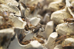 A Lot Of Crickets Stock Photography
