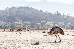 Free A Lot Of Emu Birds. Royalty Free Stock Photos - 122815928