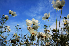A Lot Of Flowers With Blue Sky Royalty Free Stock Images