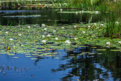 Free A Lot Of Lily Pads On A Lake Stock Photos - 39162673