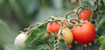 A Lot Of Ripe Tomatoes Royalty Free Stock Photos