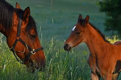 Free A Love Warm-blooded Foal Of Trotting Horse Stock Image - 211333011