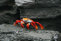 A Low Perspective Of A Red Crab On The Beach Among Rocks Royalty Free Stock Image