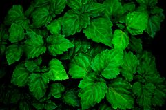 Free A Lush Healthy Green Patchouli Plant Is Wet From Being Rained On Making Colors More Intense Stock Photos - 131796243