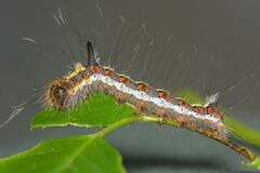 Free A Macro Image Of A  Grey Dagger Moth Caterpillar, Acronicta Psi Royalty Free Stock Image - 190514646