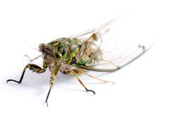 A Macro Shot Of Cicada Stock Images