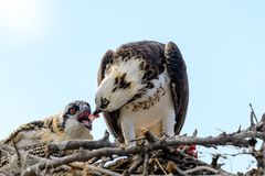 Free A Majestic Osprey Pandion Haliaetus In The Nest Eating A Fish And Feeding Its Chick With Fish Royalty Free Stock Photos - 154367508