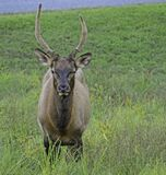 A Male Elk Strolls Across The Parking Lot. Royalty Free Stock Images