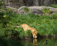 A Male Lion Drinking Water From A Pond