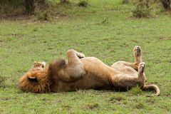 Free A Male Lion On His Back Royalty Free Stock Image - 109841406