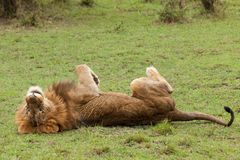 Free A Male Lion On His Back Royalty Free Stock Images - 109842509