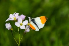 Free A Male Orange Tip Butterfly Anthocharis Cardamines Stock Photos - 163620763