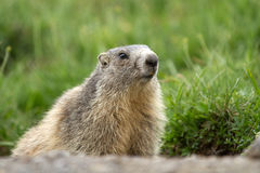 A Marmot In The Alps Royalty Free Stock Image