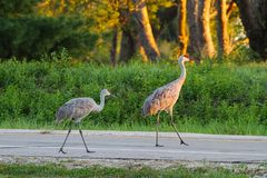 Free A Mated Pair Of Sandhill Cranes Crossing A Street At Sunset Royalty Free Stock Image - 162248196