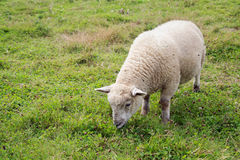 Free A Mature Sheep Grazing In A Field Royalty Free Stock Photography - 98591977