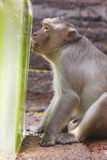 A Monkey Enjoys An Ice Treat At The Annual Monkey Buffet Festival In Thailand. Stock Photo
