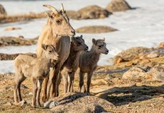 Free A Mother Bighorn Sheep And Her Triplets Royalty Free Stock Image - 162230426