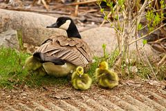 Free A Mother Canadian Goose Watching Her Newly Hatched Goslings Stock Photo - 102421680