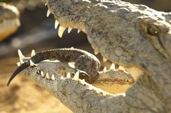 A Mother Crocodile Holding Her Young Baby In Her Mouth Royalty Free Stock Photos