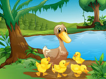 Free A Mother Duck With Her Ducklings Stock Photos - 33072213