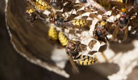 A Nest Of A Paper Wasp. Useful Predatory Garden Insect, Which Destroys Pests Stock Images