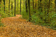 A Oak And Maple Forest Royalty Free Stock Image