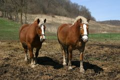 Free A Pair Of Belgian Draft Horses Royalty Free Stock Images - 2524779