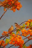 A Pair Of Light Brown Sparrows Resting On The Twigs Of A Large Bougainvillea Tree Stock Images