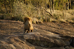 A Pair Of Mating Lions. Royalty Free Stock Image
