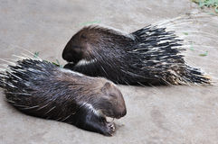 A Pair Of Porcupine Royalty Free Stock Photos