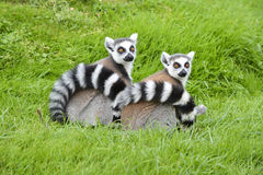 Free A Pair Of Ringtail Lemurs Stock Photography - 61270612