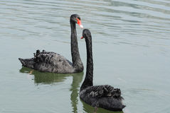 Free A Pair Of  Swans Royalty Free Stock Image - 29705996