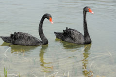 Free A Pair Of  Swans Royalty Free Stock Image - 29934316