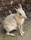 A Patagonian Mara Dolichotis Patagonum, A Large Rodent Stock Photography