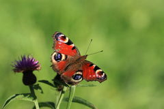 A Peacock Butterfly.Inachis Io . Royalty Free Stock Photos