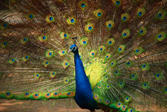 A Peacock Spreading Feathers Stock Image